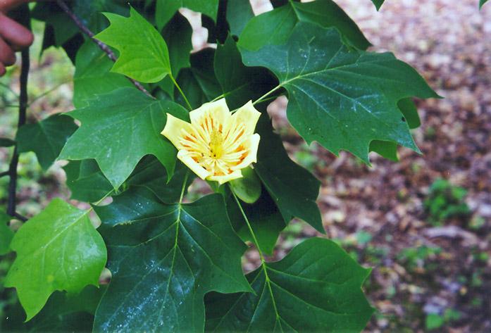 Chalet Nursery And Garden Center: Tuliptree (Liriodendron Tulipifera) In Wilmette Chicago