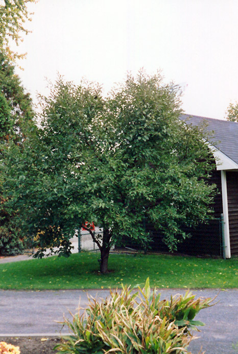 Chalet Nursery And Garden Center: Montmorency Cherry (Prunus 'Montmorency') In Wilmette