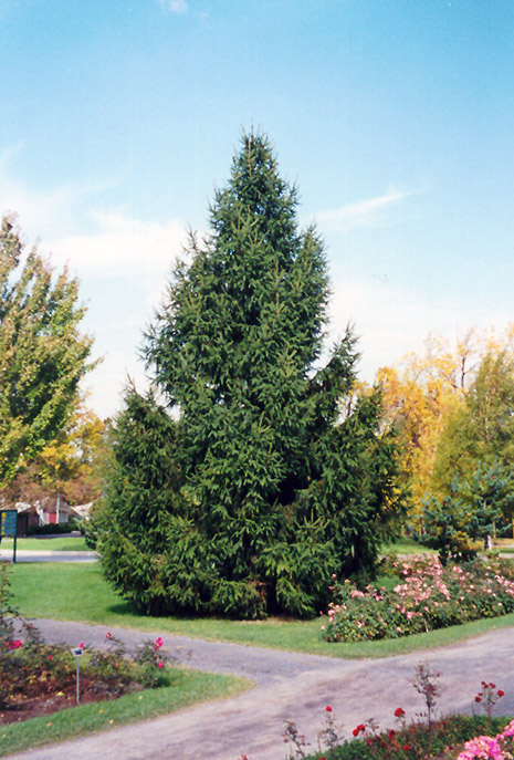 Norway Spruce Picea Abies In Wilmette Chicago Evanston