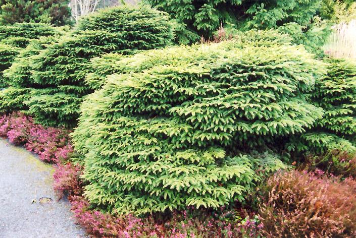 Chalet Nursery And Garden Center: Birds Nest Spruce (Picea Abies 'Nidiformis') In Wilmette