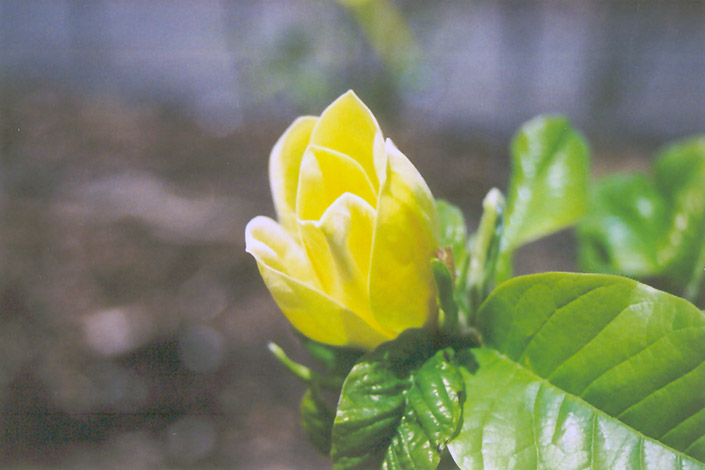 yellow magnolia wallpaper - photo #40