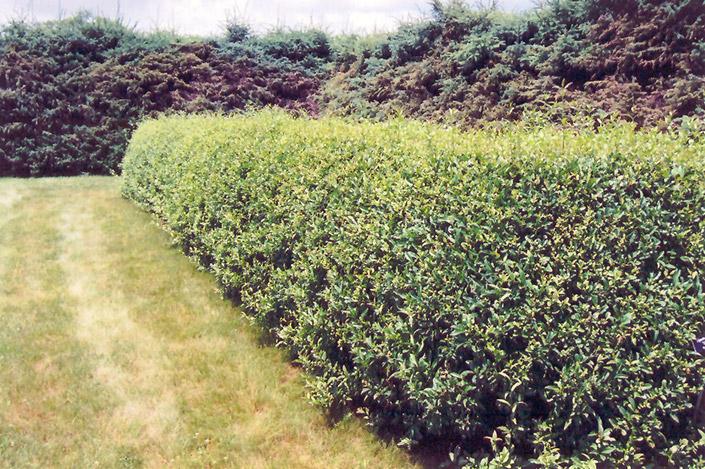 cheyenne common privet ligustrum vulgare cheyenne in