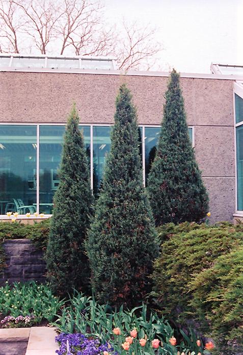 Chalet Nursery And Garden Center: Skyrocket Juniper (Juniperus Scopulorum 'Skyrocket') In