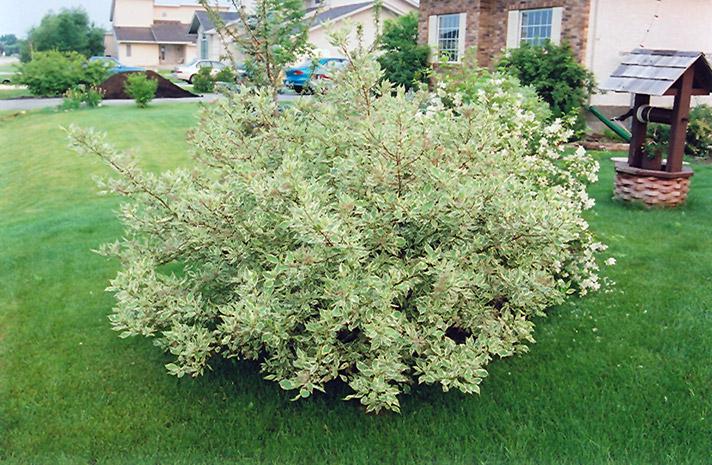 variegated redtwig dogwood cornus alba 39 elegantissima 39 in wilmette chicago evanston glenview. Black Bedroom Furniture Sets. Home Design Ideas