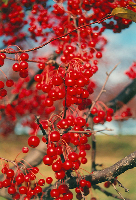 Red Jewel Flowering Crabapple (Malus 'Red Jewel') in ...