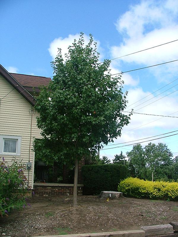 Chalet Nursery And Garden Center: Highland Park Bigtooth Maple (Acer Grandidentatum 'Hipazam
