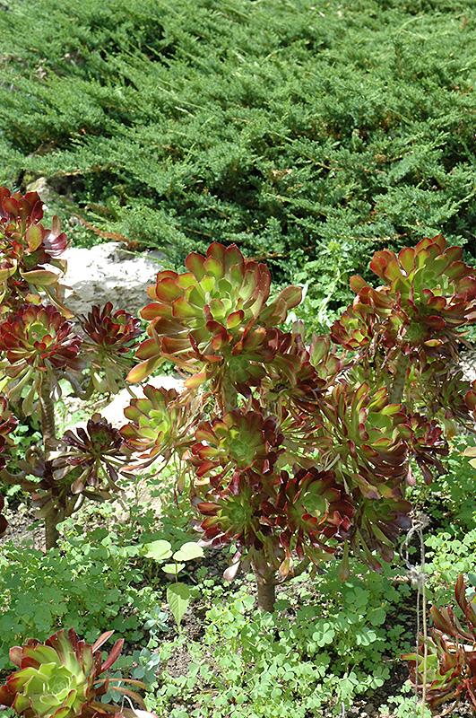 Purple Stonecrop Aeonium Arboreum Var Atropurpureum At Chalet Nursery