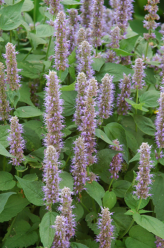 blue fortune anise hyssop agastache 39 blue fortune 39 in wilmette chicago evanston glenview. Black Bedroom Furniture Sets. Home Design Ideas
