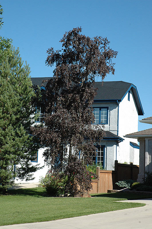 Chalet Nursery And Garden Center: Royal Frost Birch (Betula 'Royal Frost') In Wilmette