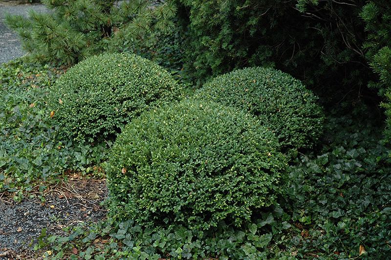 northern charm boxwood buxus wilson in wilmette