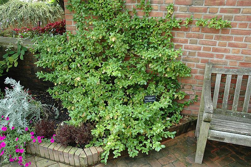 Chalet Nursery And Garden Center: Sarcoxie Euonymus (Euonymus Fortunei 'Sarcoxie') In