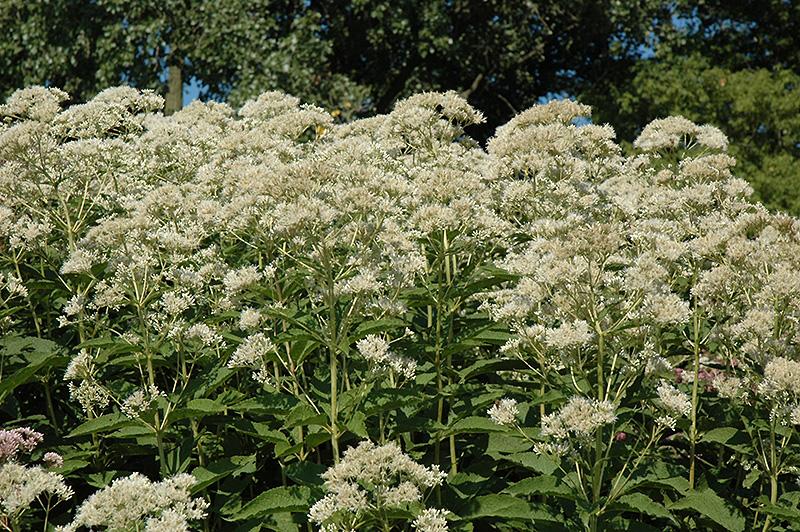 bartered bride joe pye weed eupatorium maculatum
