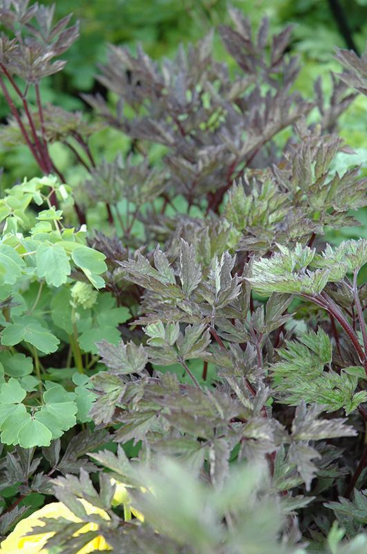 Hillside Black Beauty Bugbane (Cimicifuga racemosa