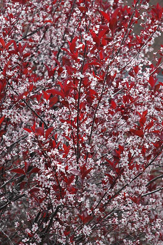 Purpleleaf Plum Prunus X Cistena In Wilmette Chicago Evanston