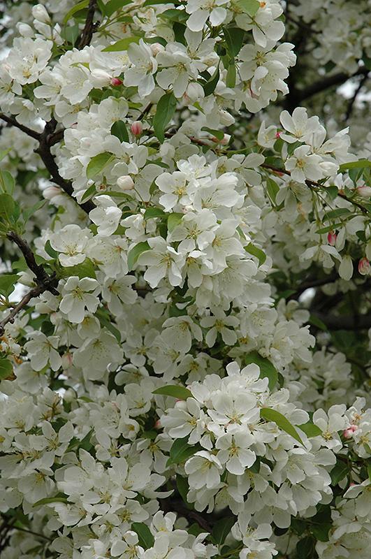 Donald Wyman Flowering Crabapple Malus Donald Wyman In Wilmette