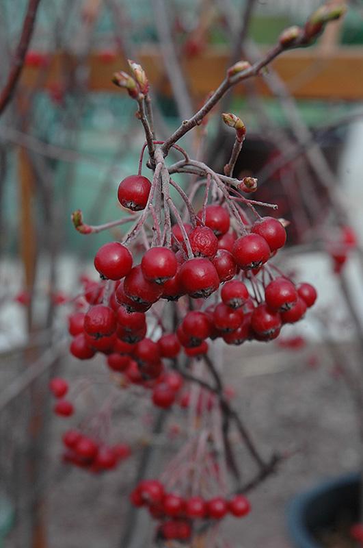 Chalet Nursery And Garden Center: Brilliantissima Red Chokeberry (Aronia Arbutifolia