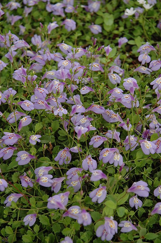 Creeping Mazus Reptans At Chalet Nursery