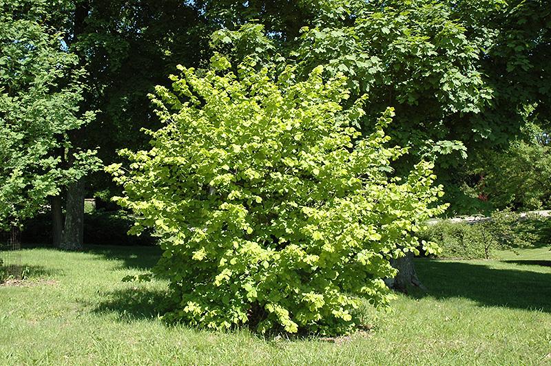 Chalet Nursery And Garden Center: Golden Leaf Hazel (Corylus Avellana 'Aurea') In Wilmette