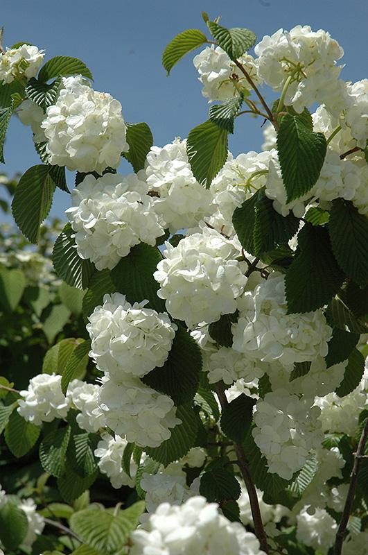 Popcorn Doublefile Viburnum Viburnum Plicatum Popcorn