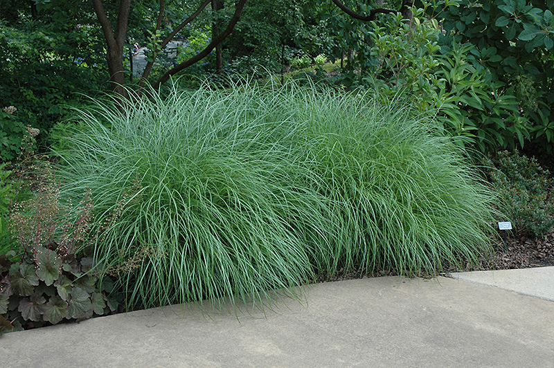 Little kitten dwarf maiden grass miscanthus sinensis for Japanese mounding grass