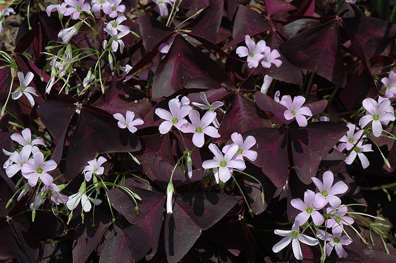 Purple shamrock oxalis regnellii 39 triangularis 39 in wilmette chicago evanston glenview skokie - Shamrock indoor plant ...