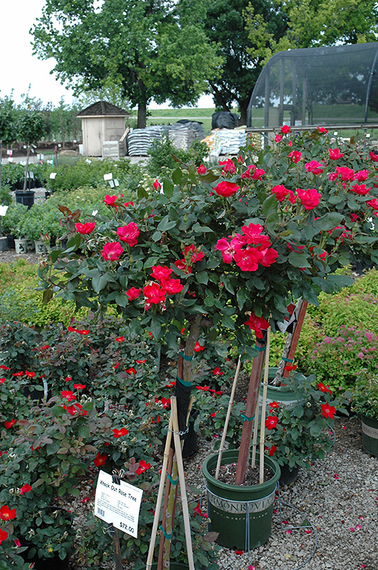 Knock Out 174 Rose Tree Rosa Radrazz In Wilmette Chicago