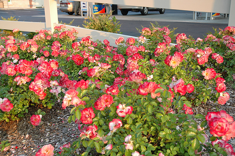 Flower Carpet Coral Rose Rosa Flower Coral In