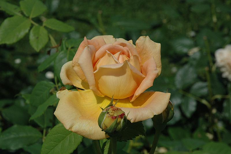 golden celebration rose rosa 39 golden celebration 39 in. Black Bedroom Furniture Sets. Home Design Ideas