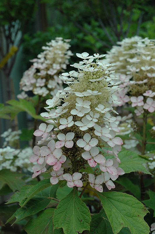 of Alice Hydrangea  Hydrangea quercifolia  Alice   at Chalet NurseryOakleaf Hydrangea Alice