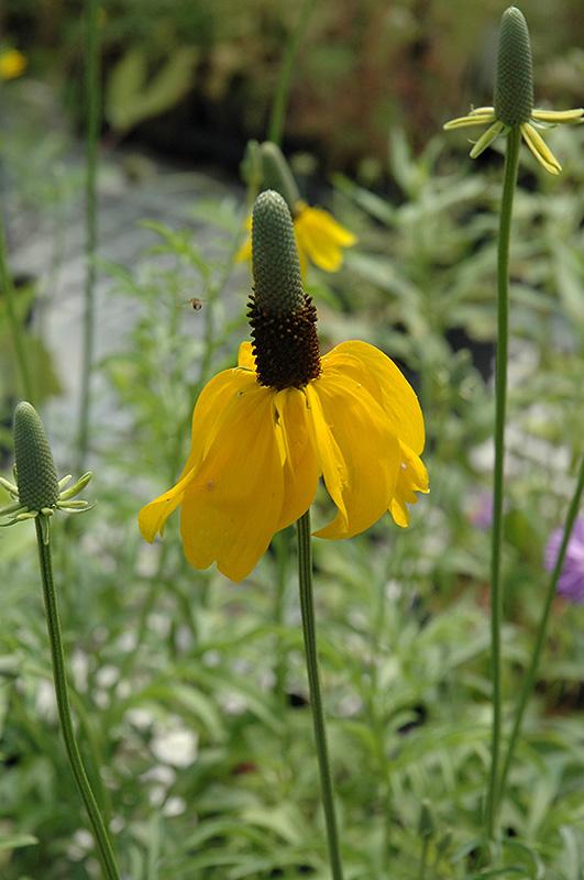 Chalet Nursery And Garden Center: Mexican Hat (Ratibida Columnifera) In Wilmette Chicago
