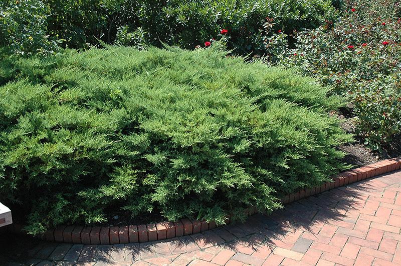 Kallay's Compact Juniper (Juniperus x media 'Kallay's Compact') in