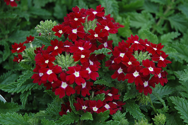Aztec Red Velvet Verbena (Verbena 'Aztec Red Velvet') in ...