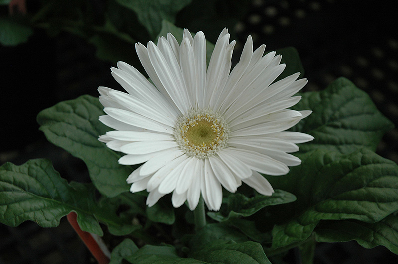 White gerbera daisy gerbera white in wilmette chicago evanston white gerbera daisy gerbera white at chalet nursery mightylinksfo