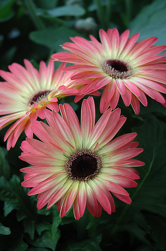 Pink And Yellow Gerbera Daisy Gerbera Pink And Yellow