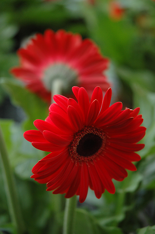 red daisy flower hd - photo #22