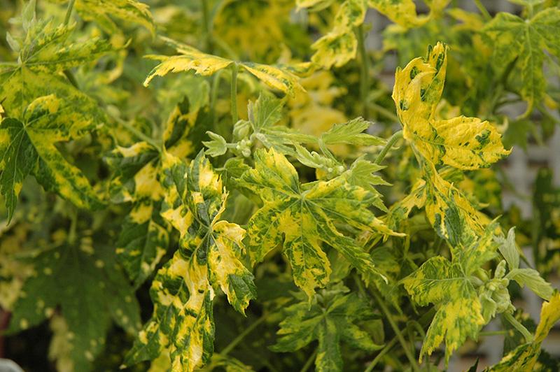 Variegated Flowering Maple Abutilon Pictum Thompsonii In