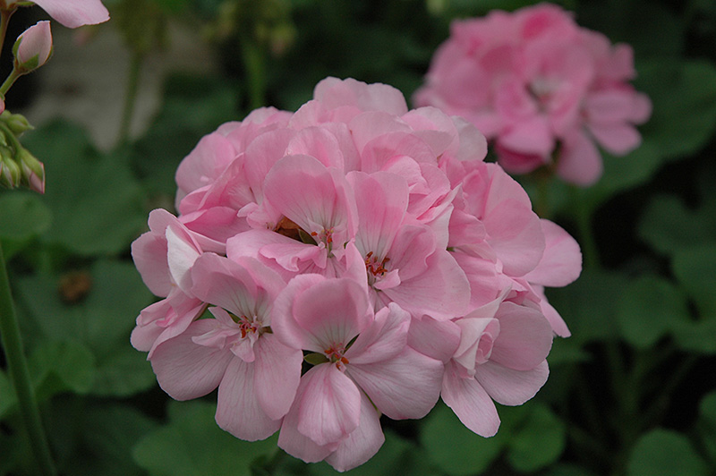 Patriot soft pink geranium pelargonium patriot soft pink in patriot soft pink geranium pelargonium patriot soft pink at chalet nursery mightylinksfo