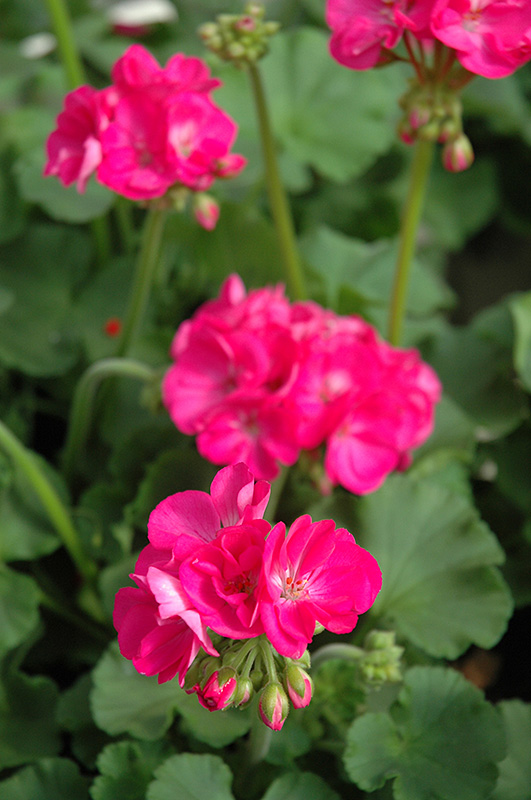 Patriot rose pink geranium pelargonium patriot rose pink in patriot rose pink geranium pelargonium patriot rose pink at chalet nursery mightylinksfo