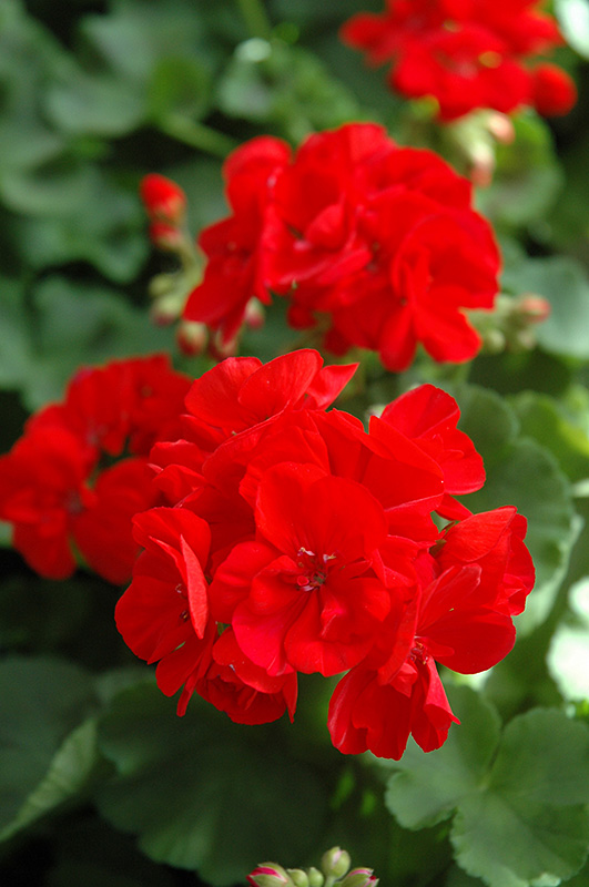 Patriot Bright Red Geranium Pelargonium At Chalet Nursery