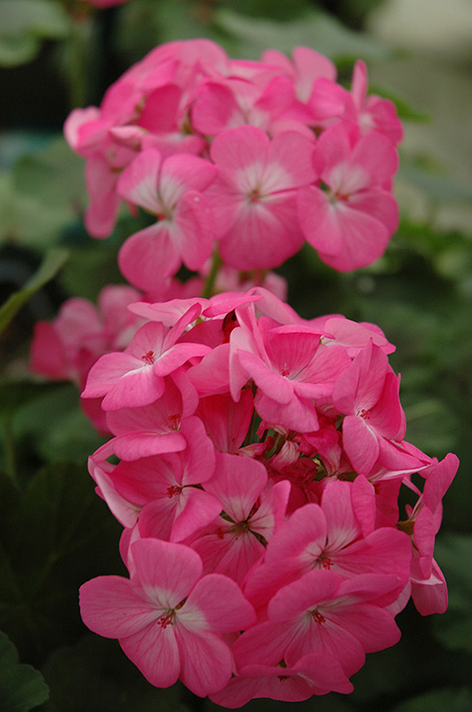 Pillar pink geranium pelargonium pillar pink in wilmette chicago pillar pink geranium pelargonium pillar pink at chalet nursery pillar pink geranium flowers mightylinksfo