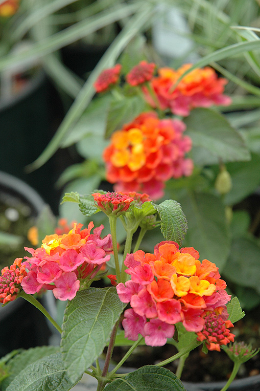Lucky Sunrise Rose Lantana Lantana Camara Lucky Sunrise Rose In