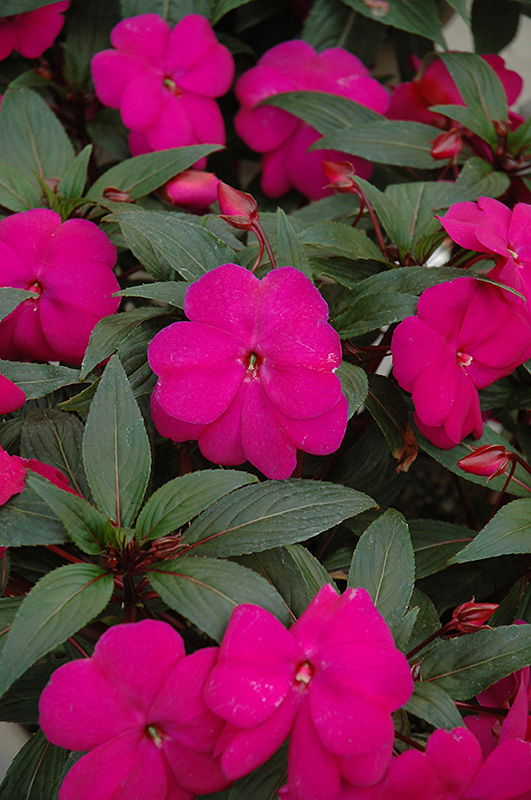 Super sonic lilac new guinea impatiens impatiens hawkeri for New guinea impatiens