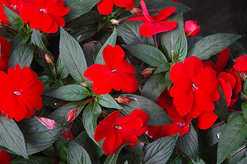 Super sonic red new guinea impatiens impatiens hawkeri for New guinea impatiens