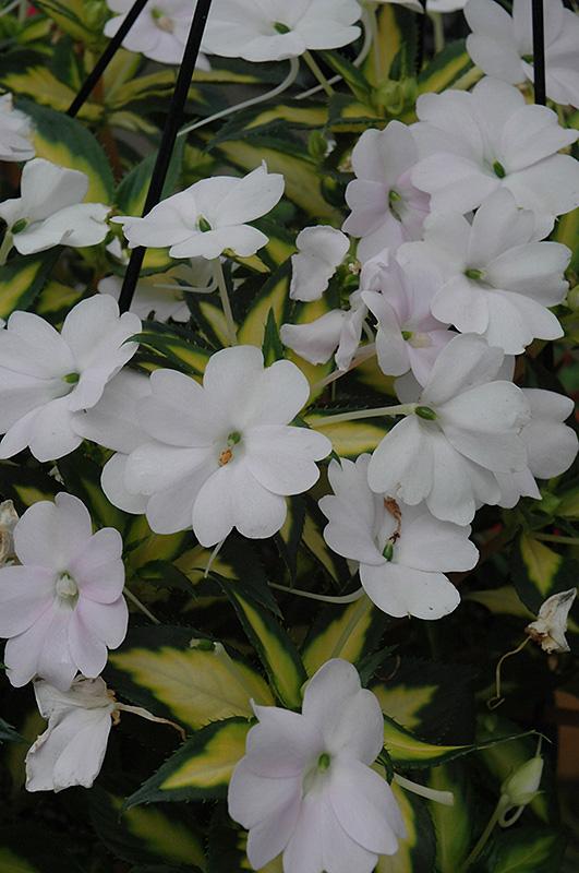 SunPatiens® Spreading Variegated White New Guinea ... White Impatiens Flowers