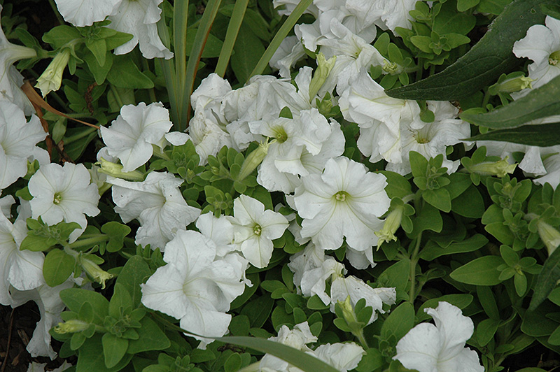 Pretty Grand White Petunia Petunia Pretty Grand White In