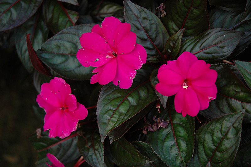 Harmony violet new guinea impatiens impatiens hawkeri for New guinea impatiens