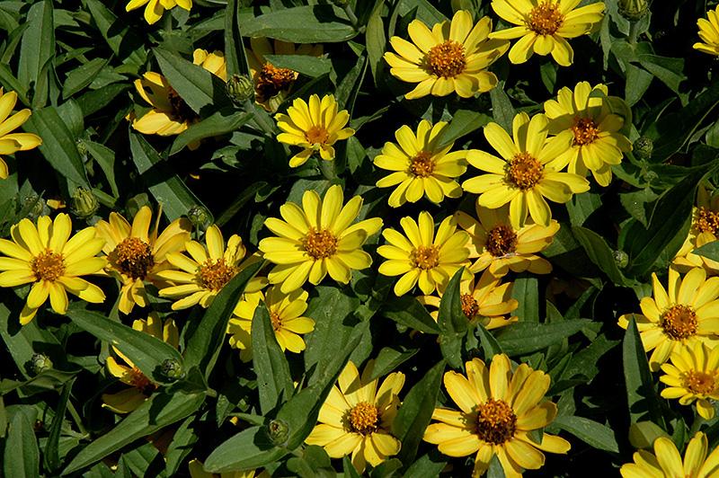 Profusion Yellow Zinnia  Zinnia  Profusion Yellow   at Chalet NurseryYellow Zinnia