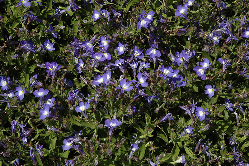 Techno Heat Upright Blue Lobelia Lobelia Erinus Techno Heat