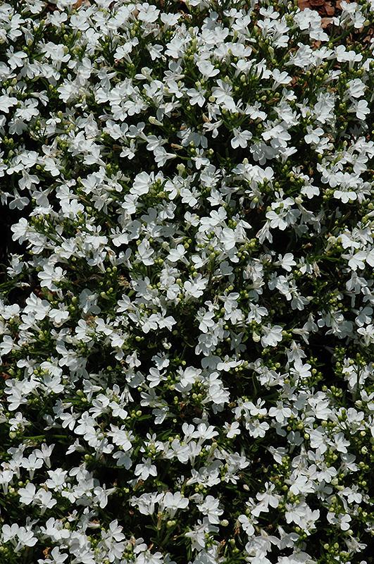 Magadi Compact White Lobelia Lobelia Erinus Magadi Compact White