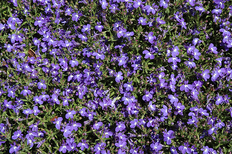 Magadi Compact Blue Lobelia Lobelia Erinus Magadi Compact Blue
